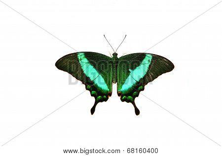 Papilio blumei on white