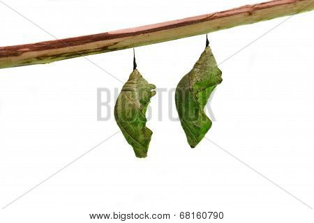 Butterfly pupae on white