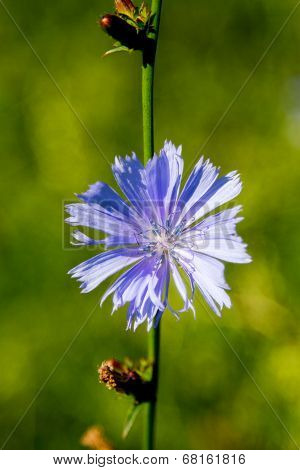 Blooming Beautiful Flower Wild Chicoryc