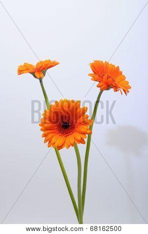 Close Up Of Orange Daisy Flower