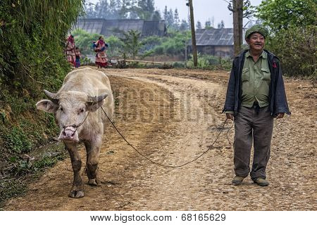 Farmer Walks His Albino Buffalo Along Mountain Road.