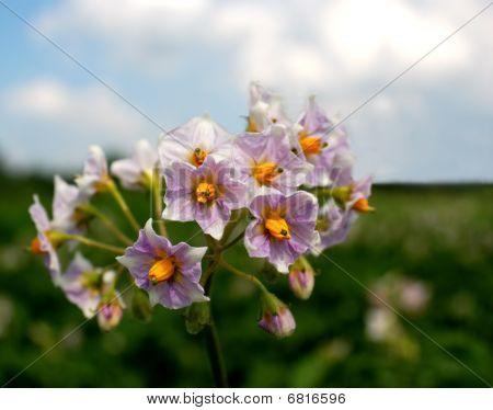 Potato Solanum Tuberosum Flower