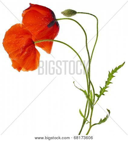 red poppies isolated on a white background