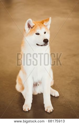 Akita Dog (akita Inu, Japanese Akita) Close Up Portrait