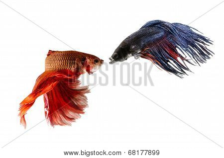 Two Siamese Fighting Fishes isolated on white background.