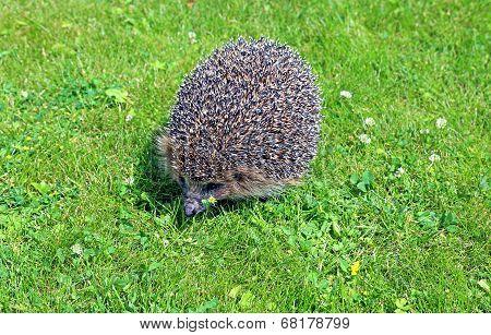 Forest Wild Hedgehog