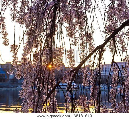 Morning sun behind the sakura blossoms in Washington DC.
