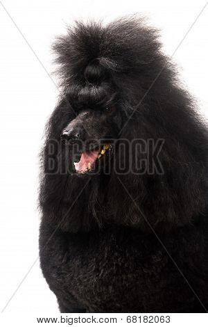 Black Royal poodle on white