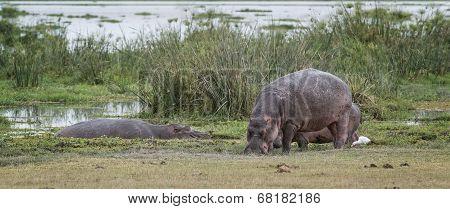 Pod Of Hippopotamuses