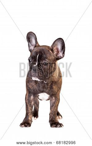 French bulldog puppy on white