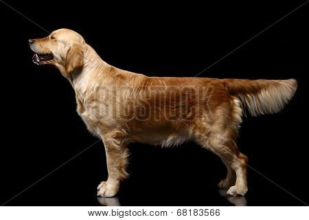 Golden retriever on black.