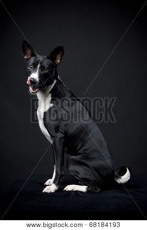Two-coloured basenji on black