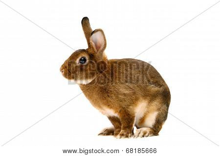 Castor Rex rabbit over white