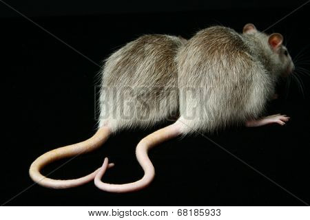 Rats with folded in the form of heart tails