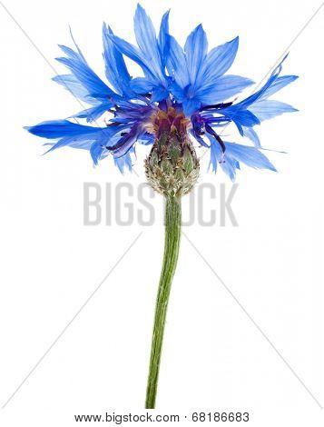 One blue cornflower flower isolated on white background