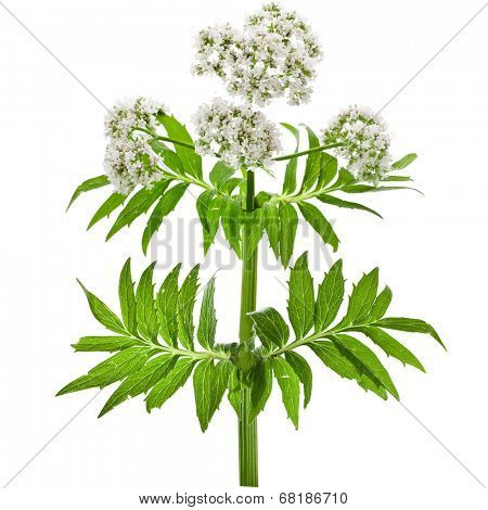 Herbaceous plant valerian  flowering  isolated in front of white background