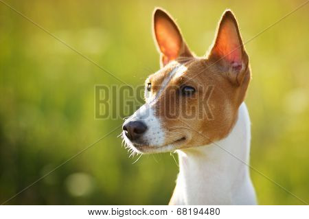 Chestnut-eared Dog Looks Somewhere