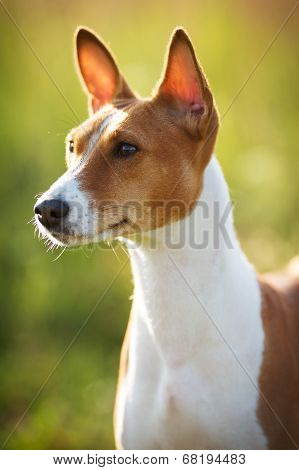 Little Basenji Breed Of Hunting Dog
