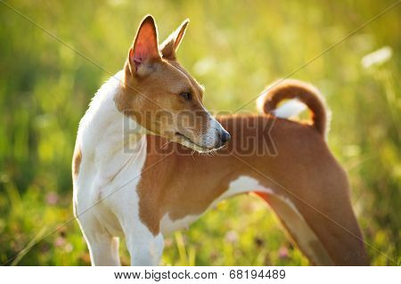 Red-haired Hunting Dog Field Of Green Grass