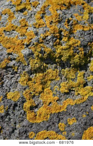 Yellow Lichen On Rocks