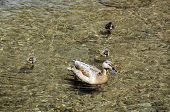 stock photo of slaughter  - Duck with ducklings on the River Eye Lower Slaughter Cotswolds Gloucestershire England UK Western Europe - JPG