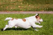 picture of jack russell terrier  - Jack Russell Terrier running on the autumn meadow - JPG