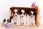 picture of epagneul  - Three Papillon Puppies - JPG