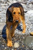 Purebred airedale terrier outdoors poster