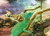 picture of terrarium  - Basilisk plumifrons in the terrarium - JPG