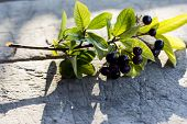 stock photo of aronia  - Branch of aronia on wooden table; fruit known for it