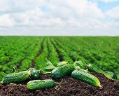 pic of cucumbers  - freshly picked cucumbers on the ground on a background of field