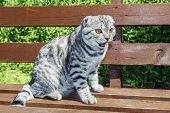 image of scottish-fold  - Scottish fold cat sitting on a park bench - JPG