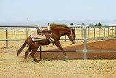 stock photo of brahma-bull  - Breaking a young horse for riding - JPG