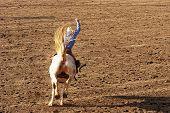 stock photo of brahma-bull  - Saddle bronc riding rodeo competition - JPG