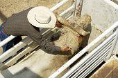 foto of brahma-bull  - A veterinary administers medication to a bull - JPG