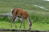 picture of cervus elaphus  - Red Deer - Cervus elaphus