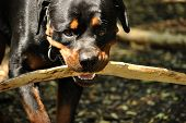 foto of dog teeth  - a dog rottweiler with a stick in teeth
