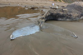 image of whale-tail  - Deceased whale tail has damage above his tail