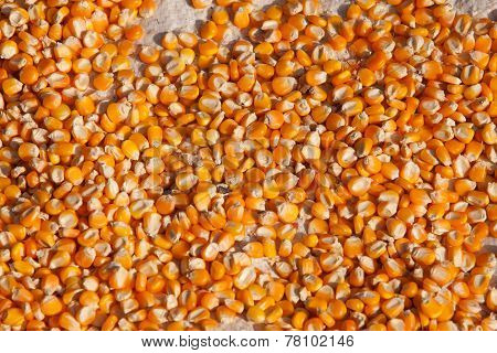 Bulk Of Corn Grains.