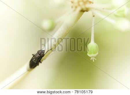 Black Fly On White Flowers