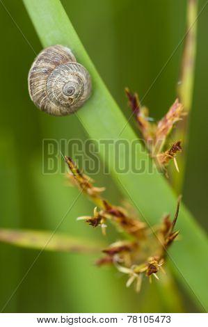 Grey Ground Snail