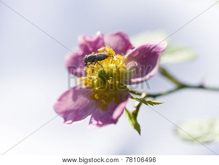 Fly On Pink And Yellow Rose
