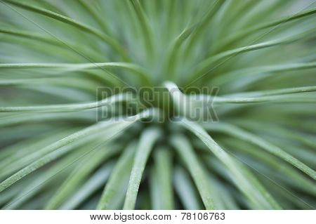 Plant With Green Tape Leaves