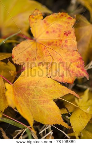 Maple Red And Orange Leaves Fallen On Ground