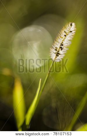 Grass Seed Spike Close Up In Sun