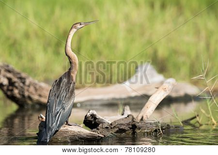 African Darter (anhinga Rufa) Standing On A Log In A Stream