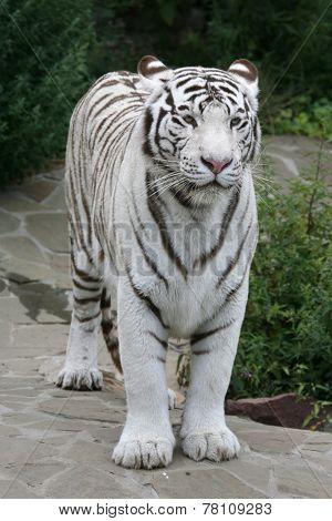 White tiger (Panthera tigris tigris).