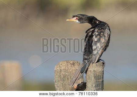 Long-tailed Cormorant (phalacrocorax Africanus) Looking Back Over Its Shoulder