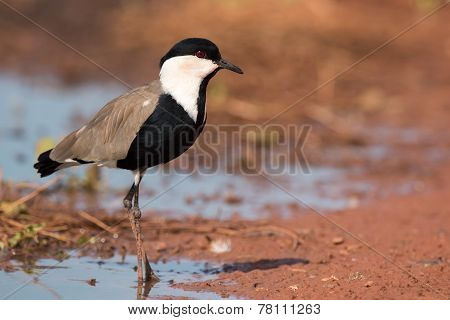 Spur-winged Lapwing (vanellus Spinosus) Standing On The Edge Of A Pond