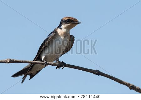Wire-tailed Swallow (hirundo Smithii) Juvenile Resting On A Branch